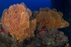 Red sabre squirrelfish hiding in a forest of gorgonian sea fans. - stock photo