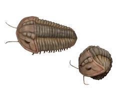 Calymene blumenbachii, a trilobite from the Silurian Period. Stock Illustration