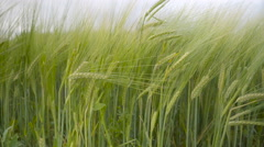The long plants of the barley grains Stock Footage