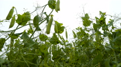 The many many pods hanging on the flowers Stock Footage