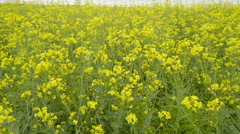 The yellow rapeseed on the field Stock Footage