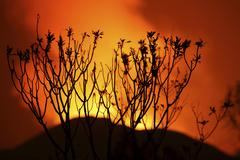 Bush silhouetted against glow of lava in crater of Nyamuragira Volcano. - stock photo