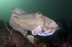 Full body view of a broadclub cuttlefish amongst a reef. Stock Photos
