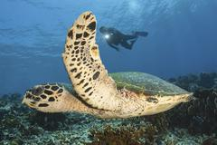 A diver swims alongside a hawksbill sea turtle off of Indonesia. Stock Photos