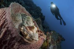 A diver looks on at a tassled scorpionfish lying in a barrel sponge. Stock Photos