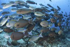 A dense school of yellowmask surgeonfish, Indonesia. Stock Photos