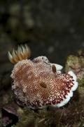 A red-netted chromodori, Komodo National Park, Indonesia. Stock Photos
