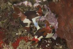 A pair of Nembrotha chamberlaini nudibranchs mating. Stock Photos