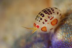 Close-up view of a ladybug amphipod, Cyproidea species. Stock Photos