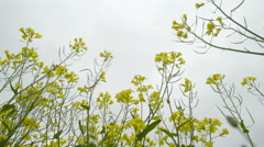 Closer look of the rapeseed plants Stock Footage