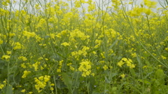The big field of the rapeseed plants Stock Footage