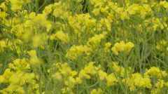 The yellow flowers of the rapeseed plants Stock Footage