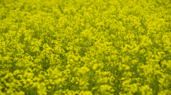 Lots of rapeseed on the yellow field Stock Footage