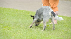 An Australian Cattle dog with the leash Stock Footage