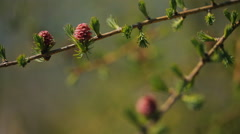 Young spruce buds bloom on branch of a coniferous tree closeup Stock Footage