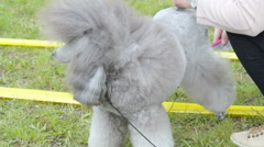 A gray white poodle being brushed - stock footage