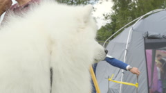 The hairy white American Eskimo Dog Stock Footage