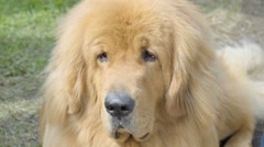 A Golden Retriever dog in the ground - stock footage