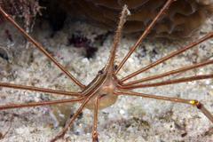 Arrow Crab carries her eggs underneath its abdomen. Stock Photos