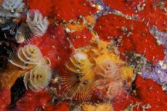 Christmas Tree Worms, Bonaire, Caribbean Netherlands. - stock photo