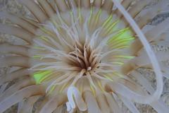 Sand Anemone with flurescent green coloring. Stock Photos