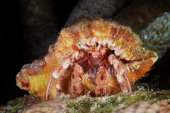 Hermit Crab tucked away in its protective shell. - stock photo