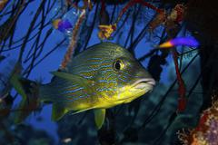 Blue Striped Grunt, Bonaire, Caribbean Netherlands. - stock photo