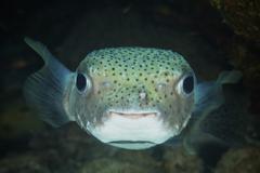 An inquisitive Porcupinefish, Bonaire, Caribbean Netherlands. - stock photo