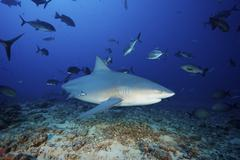 A bull shark with accompanying remora and schooling giant trevally, Fiji. Stock Photos