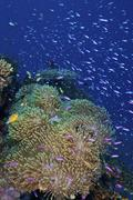 Swarms of small baitfish swim above a large sea anenome, Fiji. Stock Photos