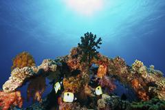 Teardrop Butterflyfish swim within a protective coral arch, Fiji. - stock photo
