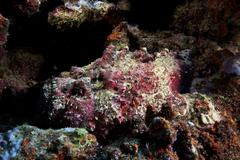 Deadly south pacific stonefish camouflaged in the reef, Fiji. - stock photo