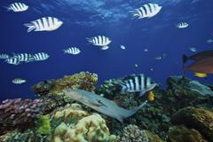 A Whitetip Reef Shark glides through a school of Scissortail Sergeant Major Stock Photos