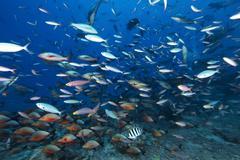 Huge school of reef fish off the coast of Fiji. Stock Photos