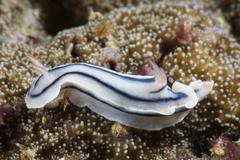 Close-up view of a nudibranch feeding on the reef, Fiji. Stock Photos