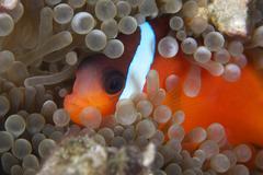 Cinnamon Clownfish in its host anemone. Stock Photos