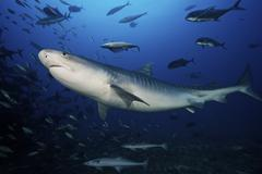 A large 10 foot Tiger Shark swims into the feeding zone, Fiji. Kuvituskuvat