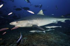 A large 10 foot Tiger Shark swims into the feeding zone, Fiji. - stock photo