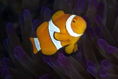 False Ocellaris Clownfish in its host anemone, Papua New Guinea. Stock Photos