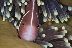 Pink Skunk Clownfish in its host anemone, Papua New Guinea. - stock photo