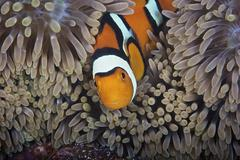A female clownfish looks after her eggs at the edge of the host anemone, Papua Stock Photos