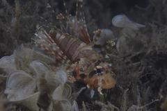 Juvenille lionfish hides in an inshore Fijian weed bed. Stock Photos