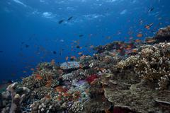 Schooling anthias fish and healthy corals of Beqa Lagoon, Fiji. - stock photo