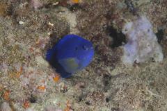 Damselfish, Beqa Lagoon, Fiji. - stock photo
