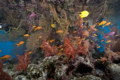 Schooling scalefin anthias fish and soft corals of Beqa Lagoon, Fiji. Stock Photos
