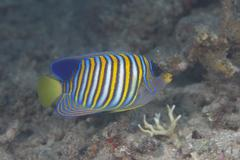 Regal angelfish swimming in waters off of Fiji. Stock Photos
