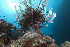 A large common lionfish swimming at Beqa Lagoon, Fiji. - stock photo