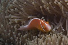 Pink anemonefish in its host anenome, Fiji. Stock Photos