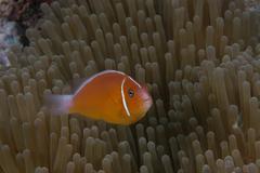 Pink anemonefish in its host anenome, Fiji. - stock photo