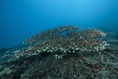 Stony corals in Beqa Lagoon, Fiji. Stock Photos